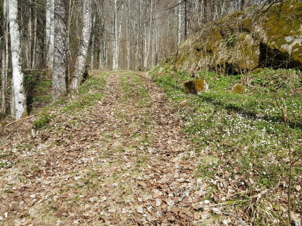 Hvitveis på veien til Gaukåsen